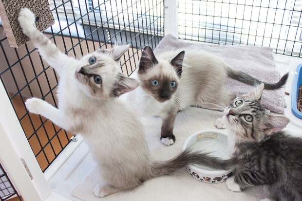 John, Wendy and Peter, kittens who were rescued from inside a boom lift in Redwood City on May 1, 2017, are now available for adoption at the Peninsula Humane Society & SPCA in Burlingame. (Courtesy of Peninsula Humane Society & SPCA)