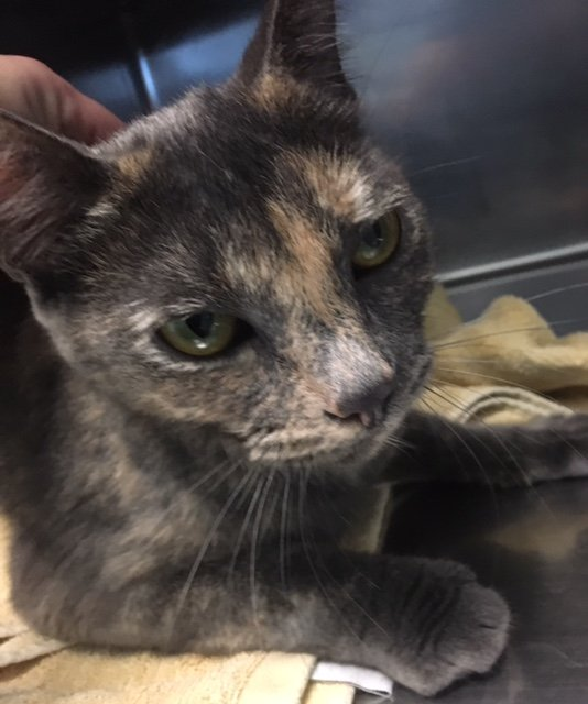 Gracie is a 2-year-old domestic shorthair dilute tortoise shell cat. Veryfriendly and vocal. Her adoption number is A125200. The shelter's featured pets, and many other animals, are available from Antioch Animal Services, 300 L St. The center is open from 10 a.m. to 5 p.m. Tuesday, Wednesday, Thursday; 10 a.m. to 2 p.m. Friday; and 10 a.m. to 5 p.m. Saturday. All of the pets from the center can be viewed at www.shelterme.com. Call 925-779-6989 . COURTESY CAT COTTLE