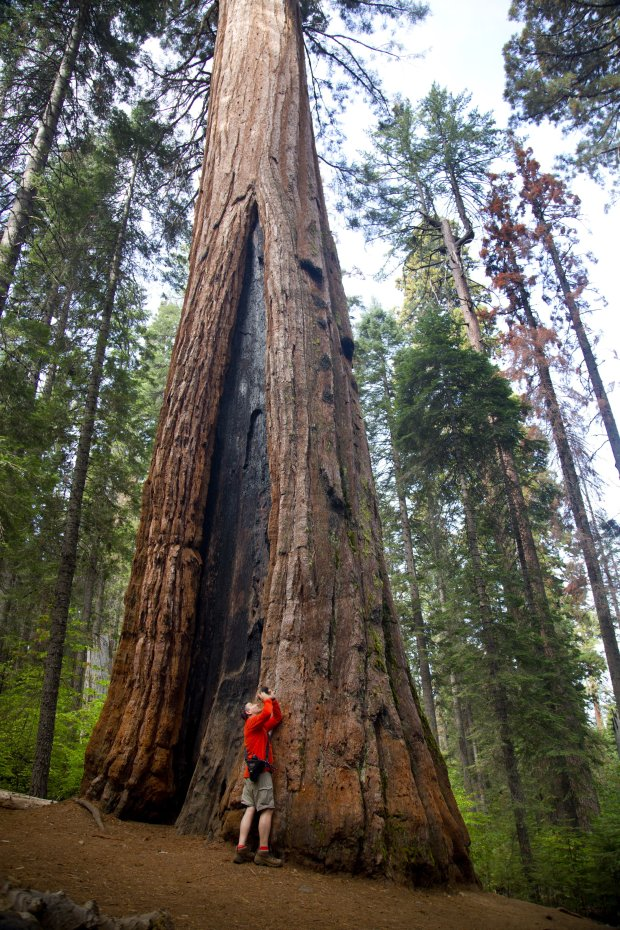 Reinhard Mrosko of Germany has a close look at a giant sequoia in the SouthGrove of Calaveras Big Trees State Park. (Courtesy of Dino Vournas)