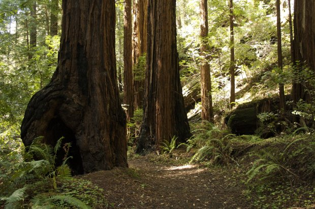Save the Redwoods League has launched an ambitious plan to fully sequencethe genomes of two species of trees: the coast redwood and giant sequoia genomes. The DNA of a coast redwood was extracted from seeds of trees like this, located in Butano State Park. (Julie Martin, Save the Redwoods League)