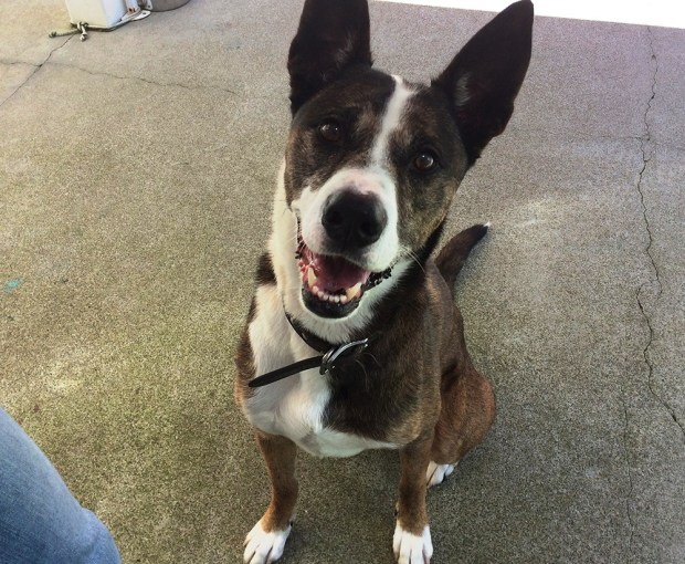 Carla Thornton/FAASLaila is Friends of the Alameda Animal Shelter's pet of the week.