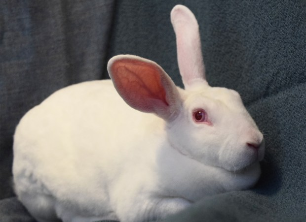 PET OF THE WEEK: Velvet is a sweet white rabbit who has had quite a journey so far. She was found as a pregnant stray in Daly City, and now that her babies are on their own, she's ready to find a nice quiet place of her own. In a patient, loving home Velvet would be a wonderful companion. Ask to meet Velvet, ID# A825114. Adoptable pets are available at Peninsula Humane Society & SPCA's Tom and Annette Lantos Center for Compassion, 1450 Rollins Road, Burlingame. For information, call 650-340-7022 or visit www.phs-spca.org. (Mallika John / Peninsula Humane Society)