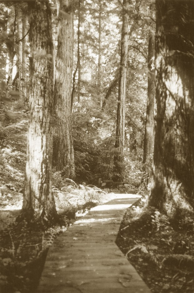 San Mateo County Parks are celebrated for their stands of majestic California coast redwoods. Pictured is Heritage Grove. The shallow root systems of these ancient giants are protected by a wood path that allows visitors to wind through the grove. (Courtesy of the San Mateo County Parks and Recreation Division)