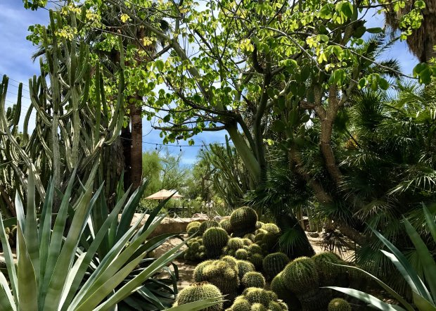 Golden barrel cactuses adorn a hillside at the Moorten Botanical Garden inPalm Springs. (Jackie Burrell/Bay Area News Group)