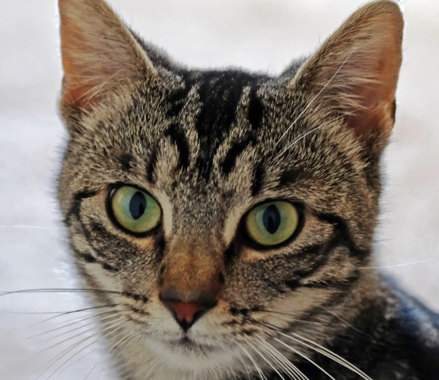 T. Forster/Valley Humane SocietyJewels is the Valley Humane Society's pet of the week.