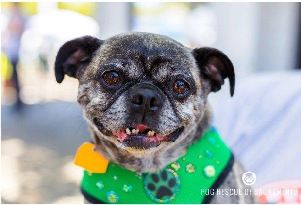 Frieda is the Pug Rescue Pet of the Week for Dec. 1(Courtesy of Pug Rescue)