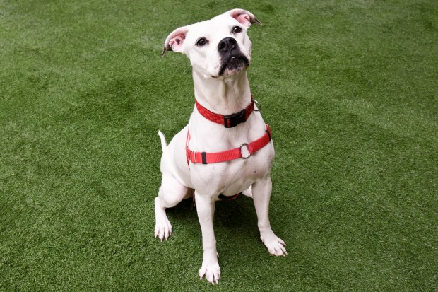 PET OF THE WEEK: Elsa is a 3-year-old American Bulldog mix who traveled from Florida to California seeking a brighter future following Hurricane Irma. Elsa is a joyful, playful and affectionate girl. Now that her eight puppies are on their own, Elsa, ID# A833163, eagerly awaits her forever home. As so many other hurricane rescues. Adoptable pets are available at Peninsula Humane Society & SPCA's Tom and Annette Lantos Center for Compassion, 1450 Rollins Road, Burlingame. For information, call 650-340-7022 or visit www.phs-spca.org. (Chuck Pitkofsky / Peninsula Humane Society)
