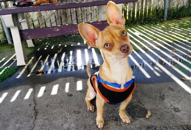 Carla Thornton/FAASRemy is Friends of the Alameda Animal Shelter's pet of the week.