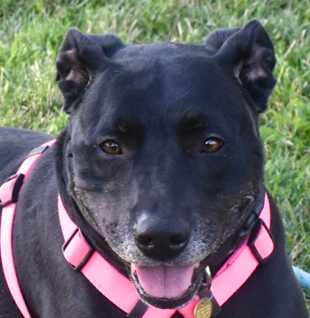 Tamale, a female Labrador and pit bull mix who's about 5 years old, is the East Bay SPCA's pet of the week.