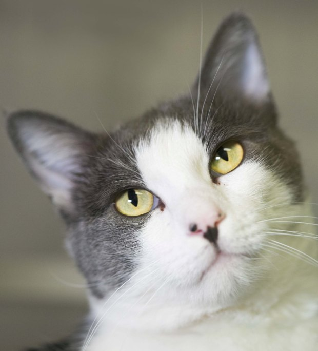 Eggnog, a male domestic shorthair who's about 2 years old, is the East Bay SPCA's pet of the week.