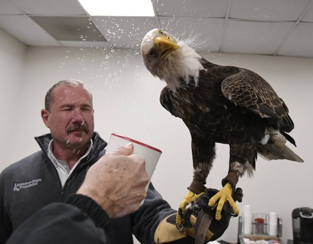 Spencer Williams gets a bath as Challenger shakes his head while drinkingwater following his pregame flight during the national anthem. Williams is curator of birds for the American Eagle Foundation. MUST CREDIT: Photo by Eileen Blass for The Washington Post.