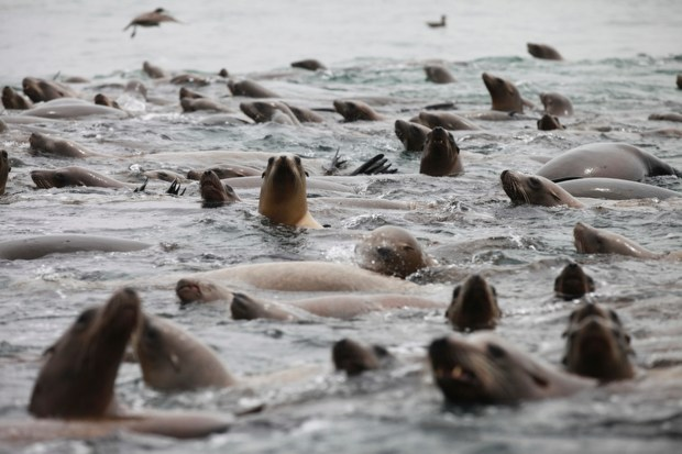 The water boils with activity as sea lions, birds, dolphins and humpback whales feed on schools of anchovies less than a mile outside of the Moss Landing, Calif., in the Monterey Bay on Aug. 10, 2014. (Laura A. Oda/Bay Area News Group)