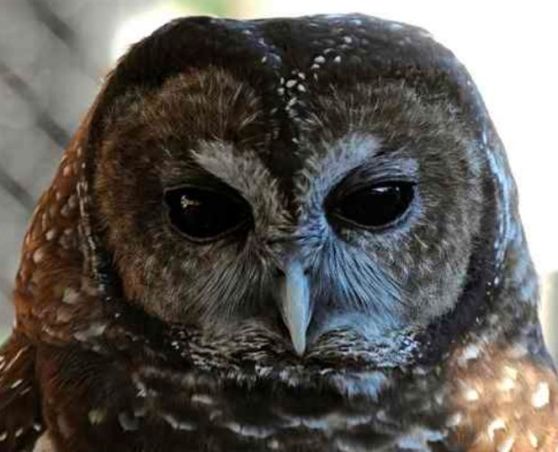 A spotted owl makes a public appearance at WildCare, the San Rafael-based clinic. The typical breeding season for the raptor is Feb. 1 to July 31. (Alan Dep/Marin Independent Journal File)