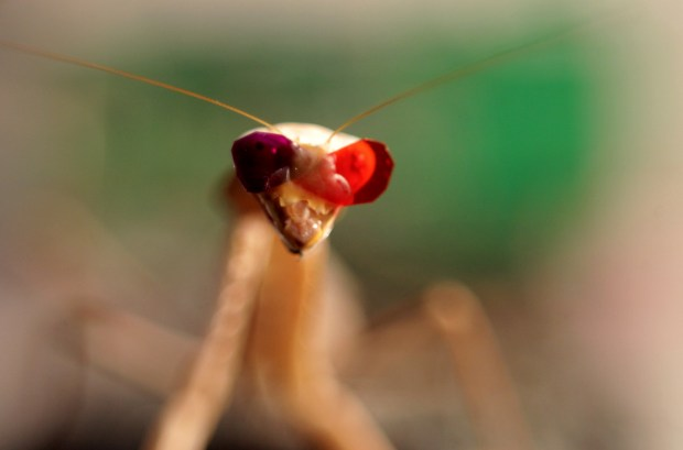 A praying mantis fitted with miniature 3D glasses, in a research facility at Newcastle University. (Newcastle University UK /Mike Urwin via AFP Getty)