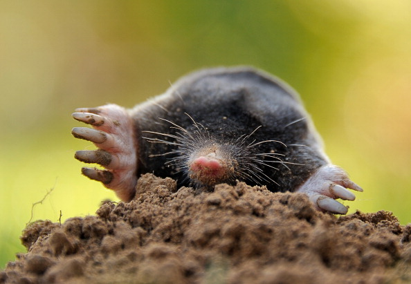 Moles, voles or gophers — what's destroying Orinda yard?