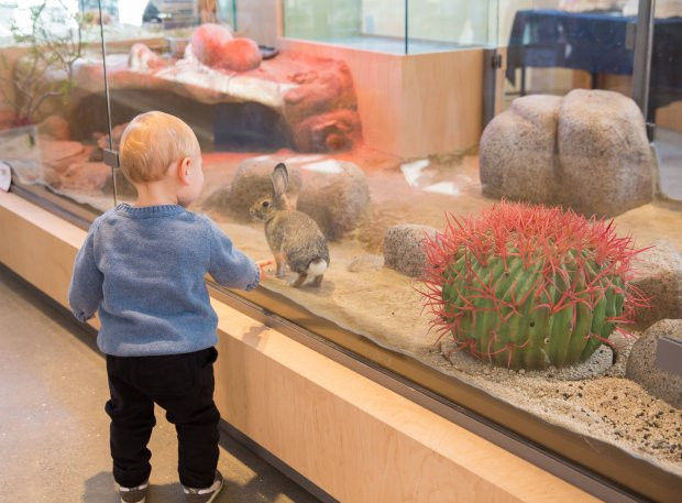 Meet a desert cottontail rabbit in the Randall Museum's new desert habitenclosure. The recently renovated San Francisco museum is free and open to the public (Photo: Quincy Stamper).