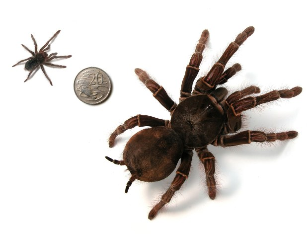 A bird-eating tarantula spider, left, pictured next to an Australian 20 cent coin and a fully grown tarantula in this undated hand out photo at the Melbourne Museum. (AP Photo/Australian Customs Service)