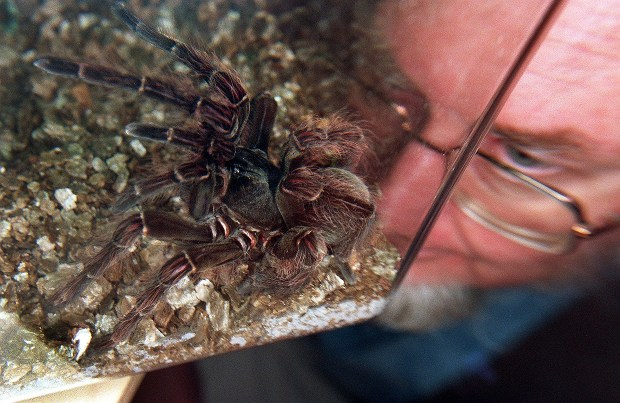 "Australian Museum's arachnology expert Dr Mike Grey takes a closer look at the Goliath Bird-Eating spider, a member of the Tarantula family, the world's largest in Sydney 20 November. Found in the Amazon Basin in Brazil and dubbed the ""Arnold Schwarzenegger"" of the spider world the female grows up to 25cm in leg span and weights over 115g. Known for an aggressive temperament, the spider has an healthy appetite of small birds, lizards and frogs. (WILLIAM WEST/AFP/Getty Images)"