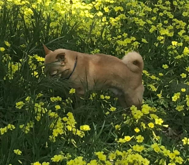 Jerry loves meandering through the flowers on a sunny spring day. (Courtesy of Lynn Forbes)