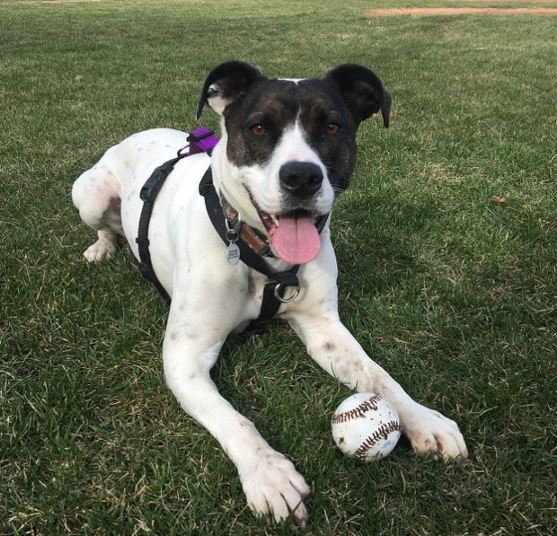 Maizie is a mixed-breed dog whose owners signed her up to participate in alarge study on canine behavioral genetics. MUST CREDIT: Darwin's Dogs.