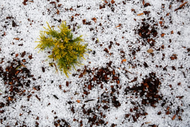 A plant is almost buried in hail after a storm blew through the East Bay Hills during the morning commute in Oakland, Calif., on Monday, April 16, 2018. The hail snarled traffic on Highway 13 due to cars sliding on icy roads and surrounding streets and delayed the start of the school day for many schools in the area. (Laura A. Oda/Bay Area News Group)
