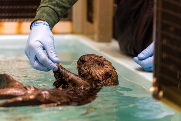 A baby otter gets rescued at the Monterey Bay Aquarium. (Monterey Bay Aquarium)