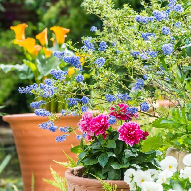 Californian lilac, dahlias and zantedeschia flowers add colour to a garden.