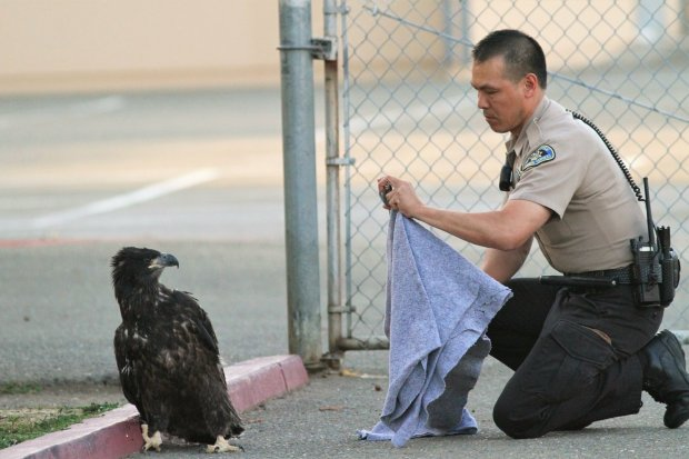 A San Jose Animal Care and Services officer works to coax an eaglet backtoward a fenced off area near Curtner Elementary School in Milpitas on Sunday June 17, 2018. (Photo by Alfred Bruckner)