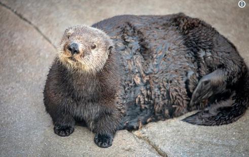 Viral backlash over Monterey Aquarium's 'thicc' sea otter is peak 2018