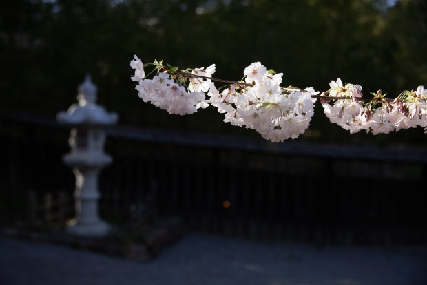 Photos: Hakone opens gardens for daytime (and nighttime) cherry blossom viewing 2