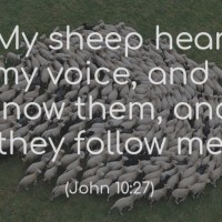 Who are Jesus' flock? Notes for a sermon on sheep