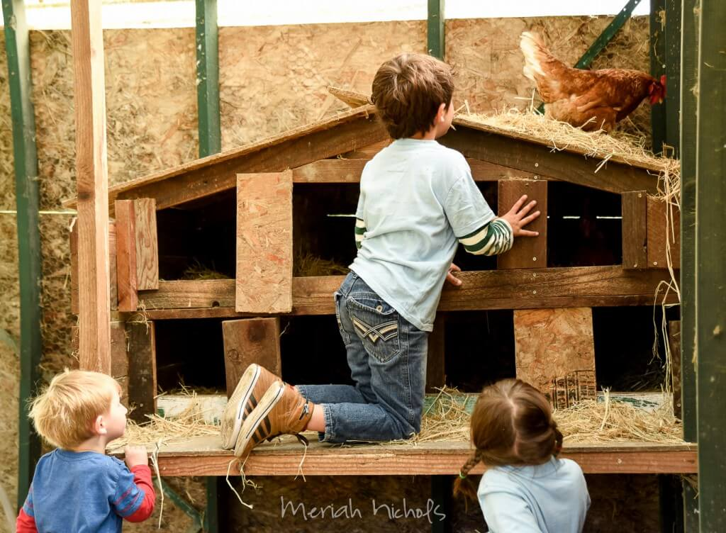 little boy reaching into the chicken coop for eggs