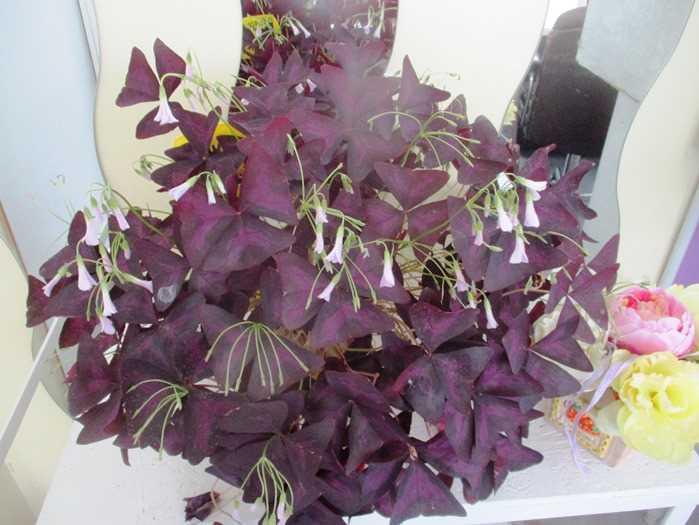 Coltivazioni Serre Meridiana: Trifoglio Viola
