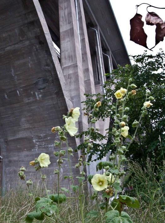 Stockrosor och bro
