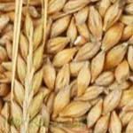 Barley-जौ-Jau-Spices-Names-in-English-Hindi-Meri-Rasoi