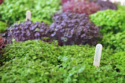 Oregano_Meristem_Edible_Botanicals_Micro_herbs_edible_flowers