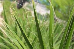 Palmwedel der Washingtonia Robust mit ihren feinen Fäden