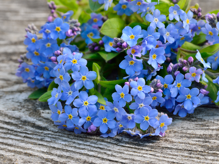 Forget me not   10 Flower Names   Merriam Webster