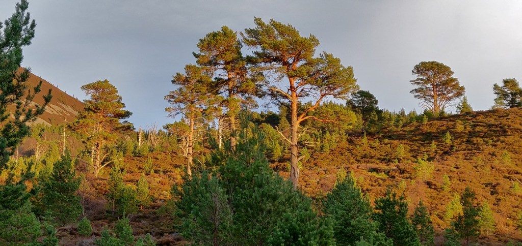Scots pine trees on hillside in Glenmore