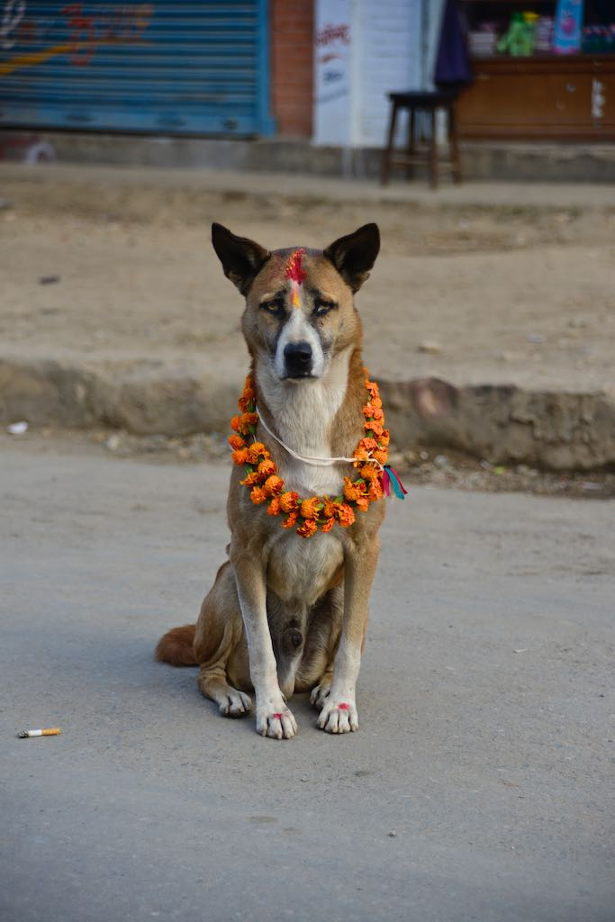 Dog with tika at Tihar by Rowan Butler