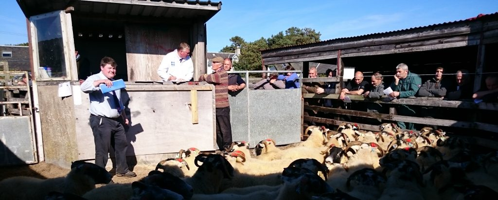 sheep auction in open air ring