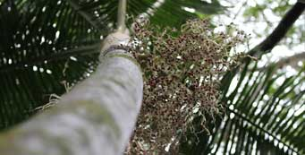 Palm Fact of the Week: Inflorescence