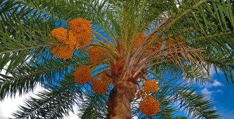 Palm Fact of the Week: Oldest Palm
