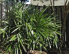 Palm Fact of the Week: Needle Palm