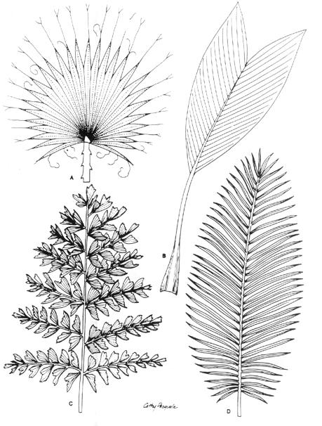 Four Palm Leaf Types