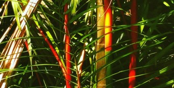 Palm Fact of the Week: Cyrtostachys renda or Red Sealing Wax Palm