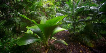 Palm of the Week: Johannesteijsmannia altifrons