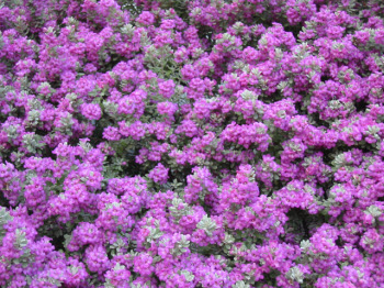 Purple Sage Bush