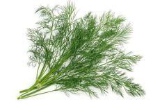 LEACURI DIN NATURĂ | Mărarul (Anethum graveolens)