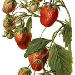 LEACURI DIN NATURĂ | Căpșuna (Fragaria sp.)